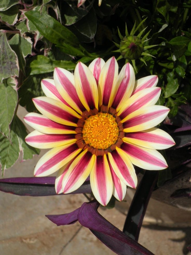 1000+ images about African Dasies on Pinterest.