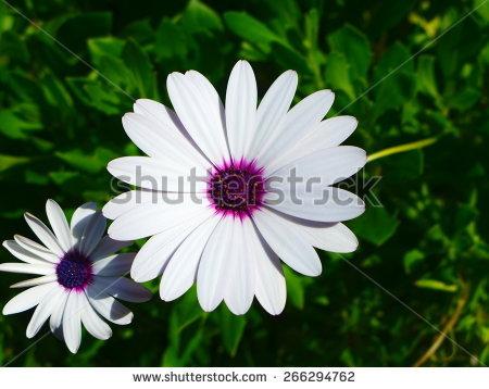 Osteospermum Stock Photos, Royalty.
