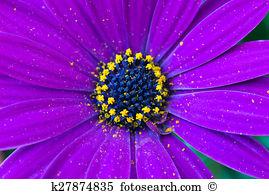Osteospermum ecklonis Stock Photo Images. 45 osteospermum ecklonis.