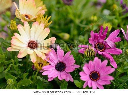 Osteospermum Ecklonis Stock Photos, Royalty.