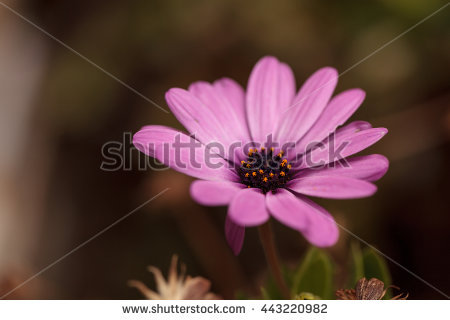 Purple African Daisy Blooms Stock Photos, Royalty.