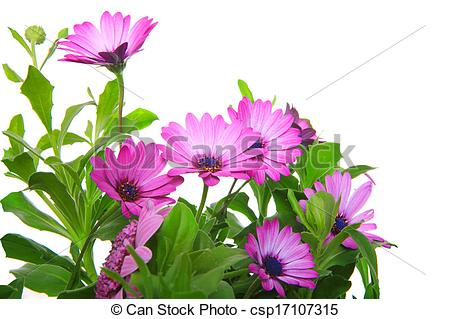 Stock Photography of violet african daisy (Dimorphoteca.