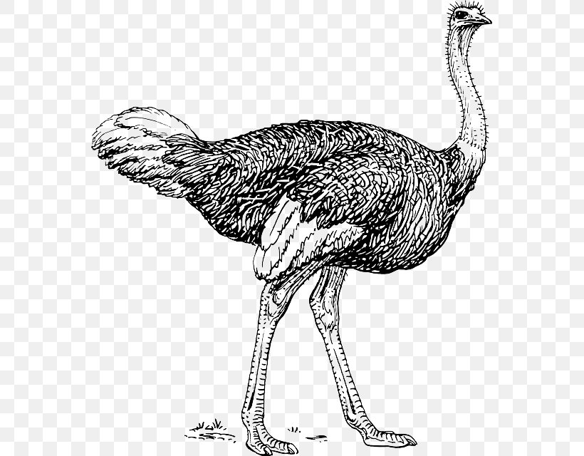 Common Ostrich Bird Clip Art Image Black And White, PNG.
