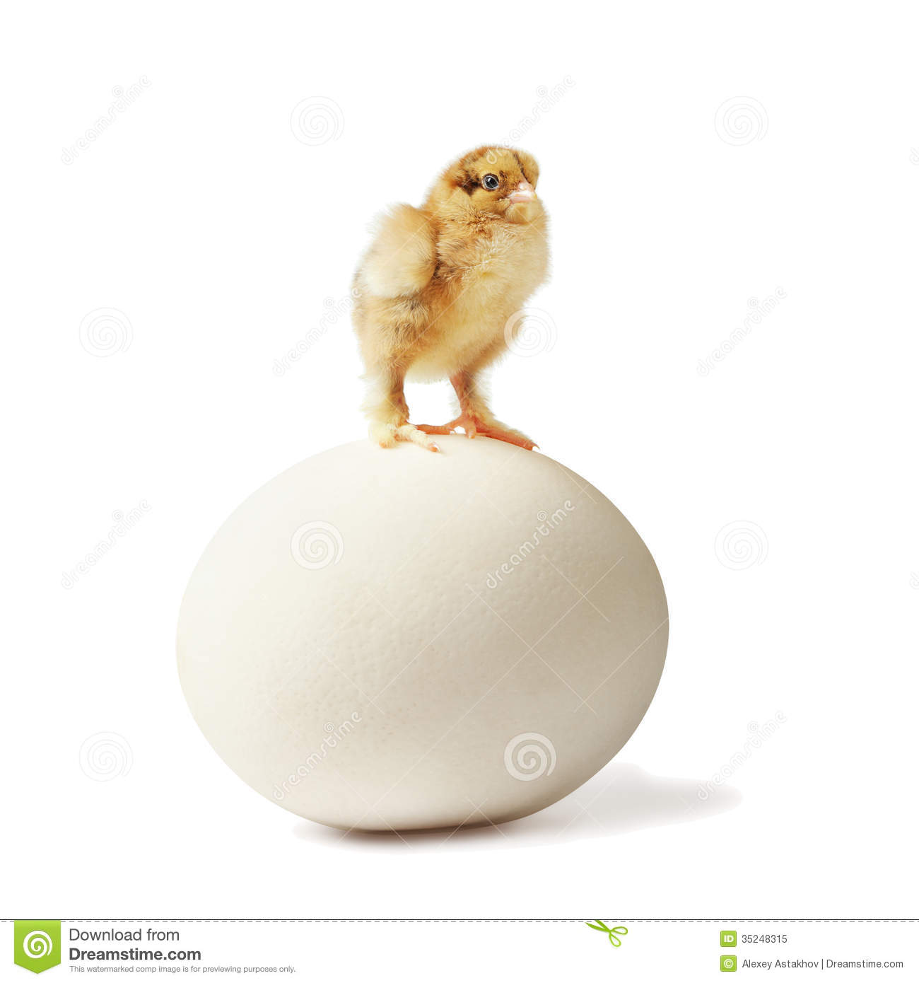 Chick And Ostrich Egg Stock Photography.