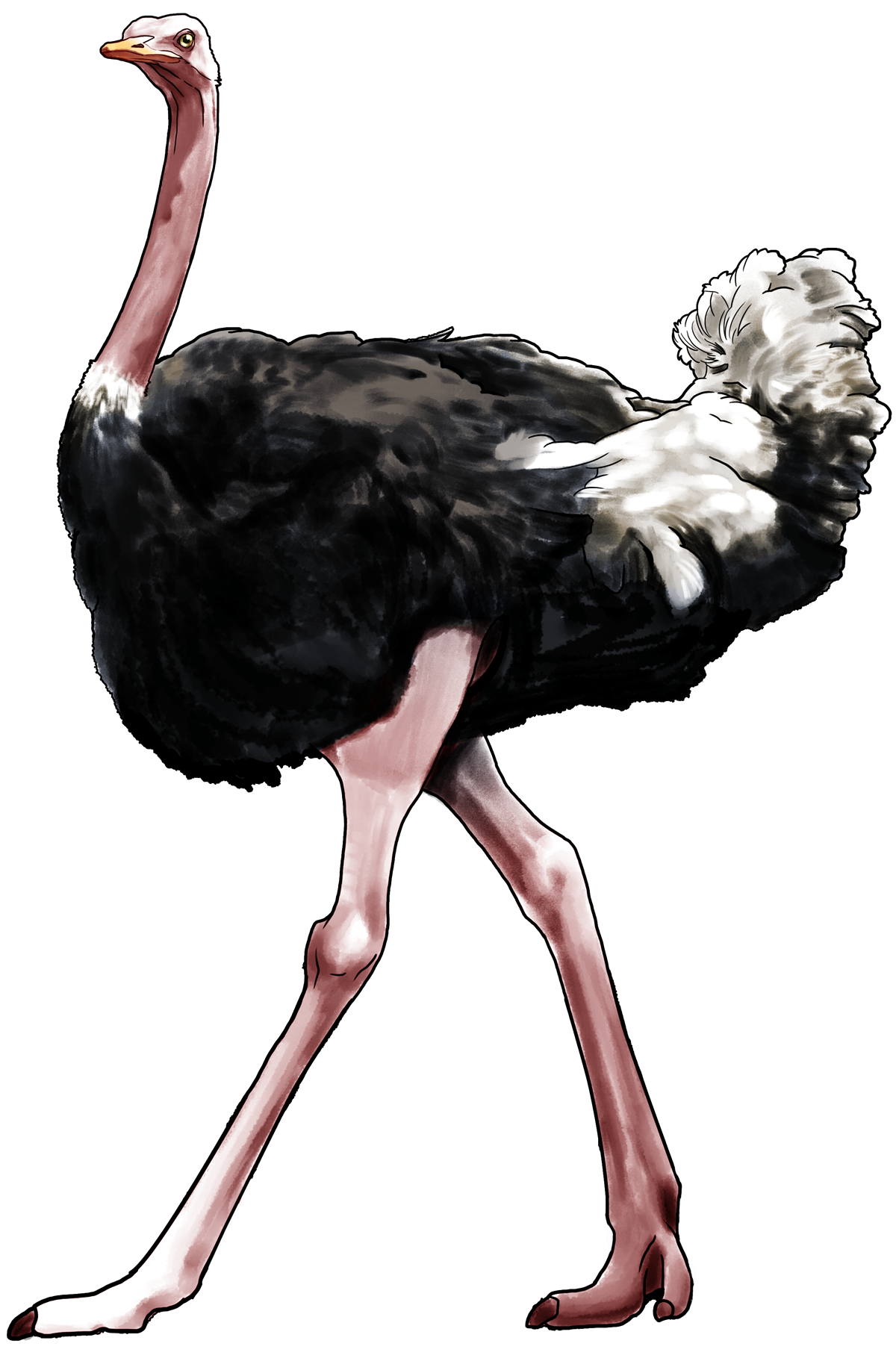 Ostrich PNG images free download.