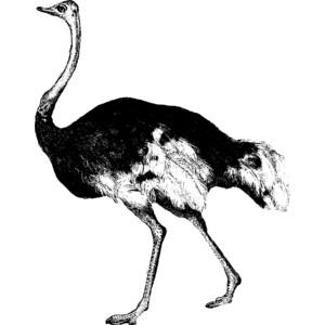 Ostrich Clipart.