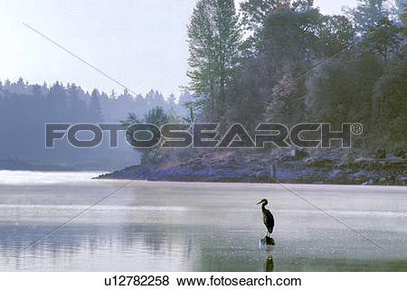 Pictures of Heron at Mouth of Lake Oswego Creek in Oregon.