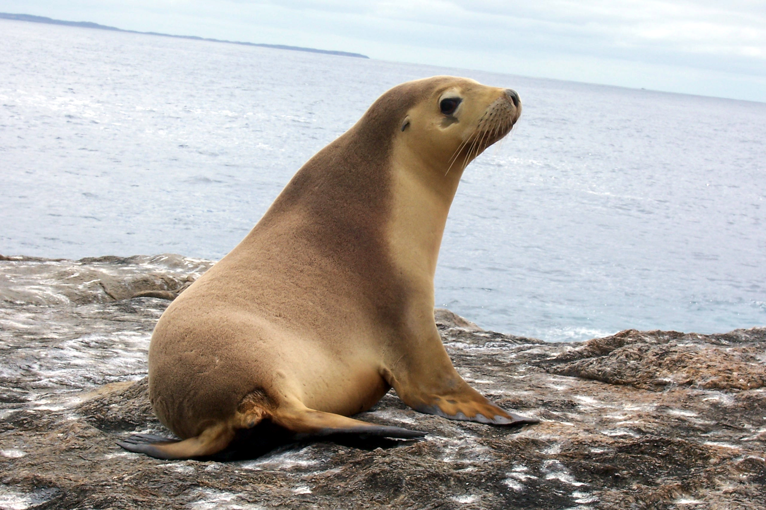 Watch more like Fur Seal Otariidae.