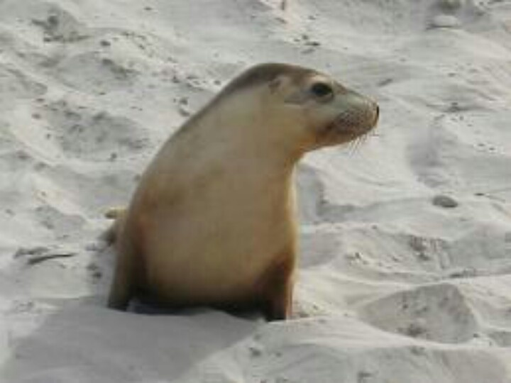 1000+ images about Cute Sea Lion on Pinterest.