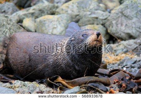 Eared Seal Stock Photos, Royalty.