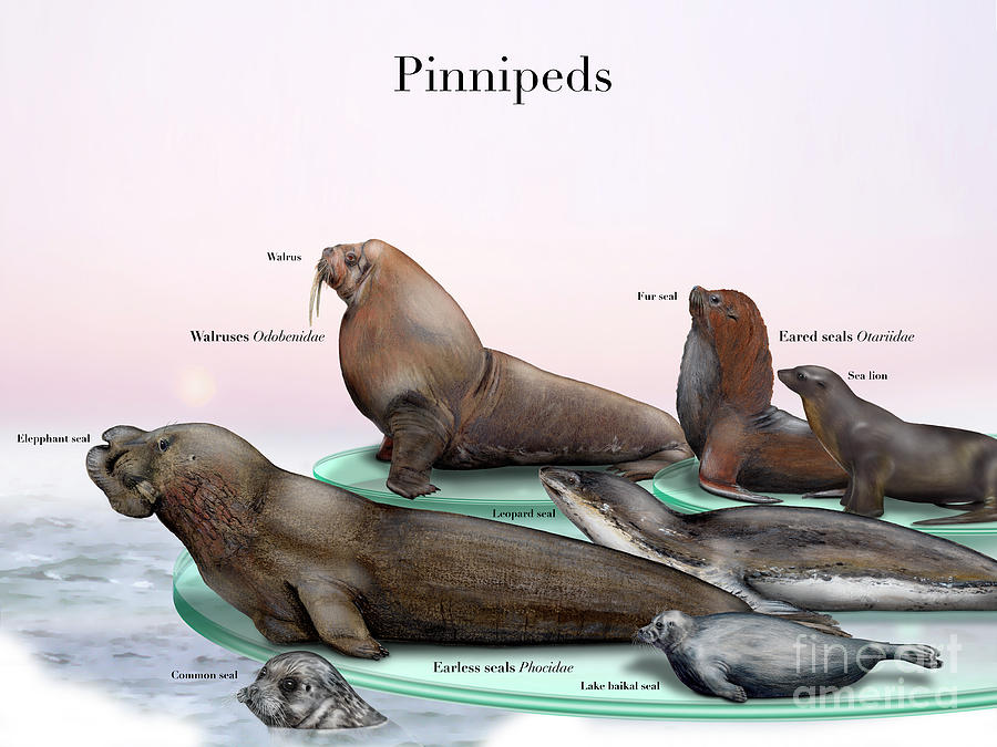 1000+ images about pinnipeds & friends on Pinterest.