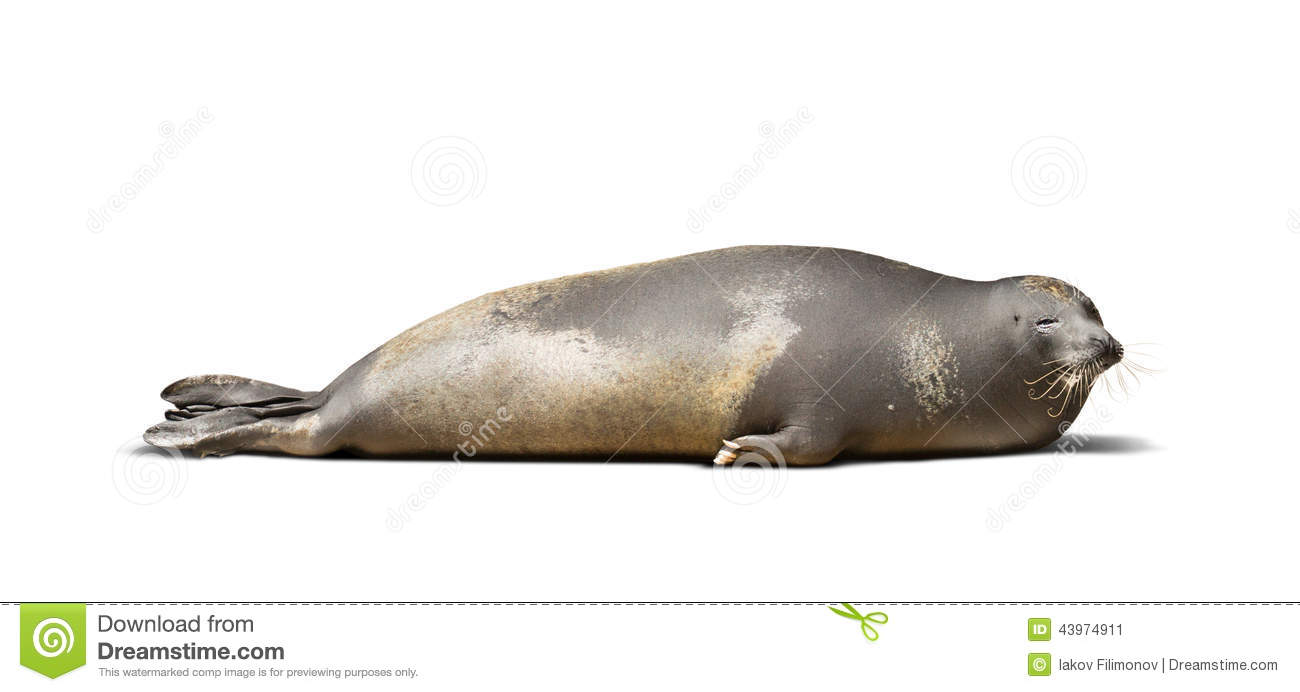 Laying Earless Seal Stock Photo.