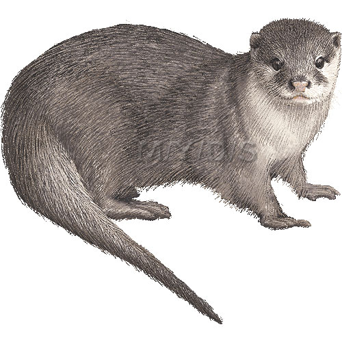 Free White Otter Cliparts, Download Free Clip Art, Free Clip.