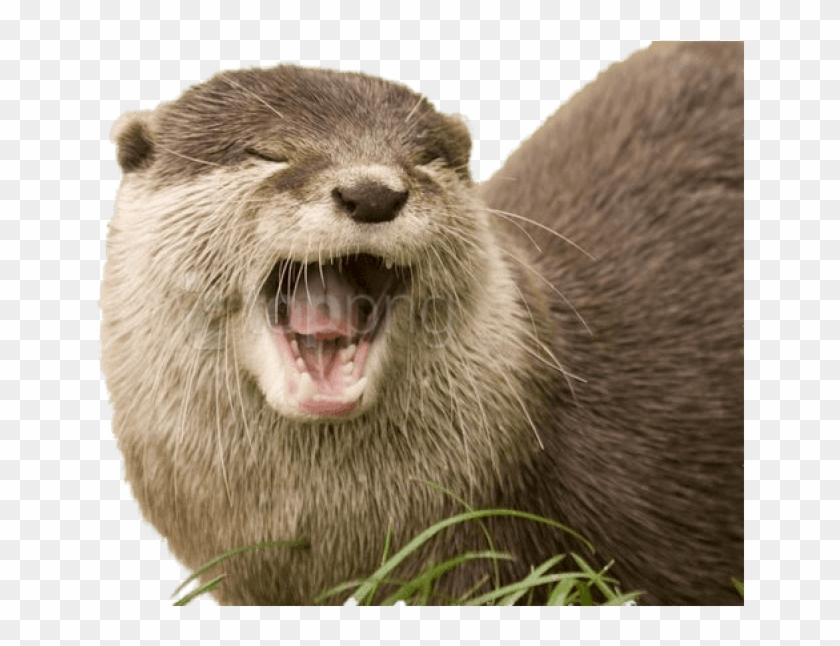 Free Png Download Yawning Otter Png Images Background.