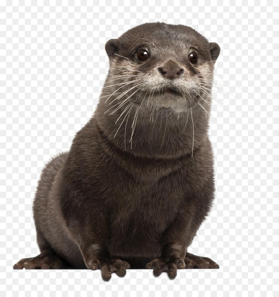 Otter Cartoon png download.