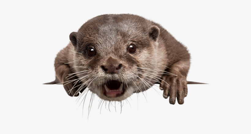 Sea otter PNG Images.