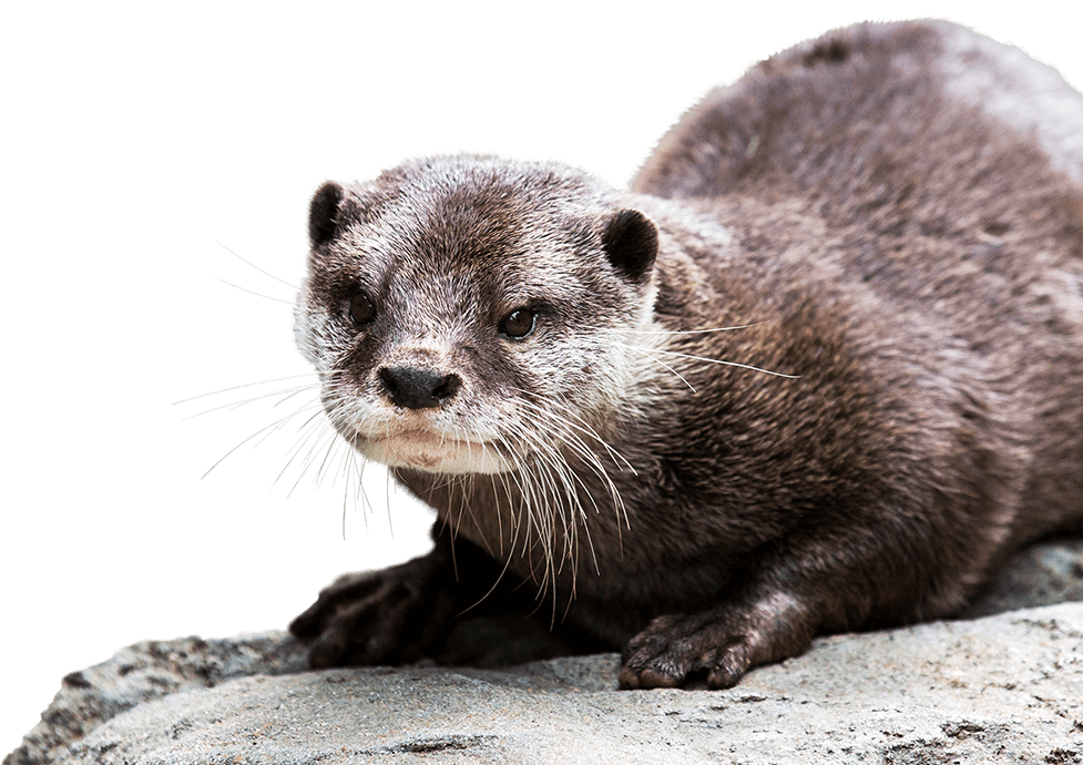 Otter Background PNG.