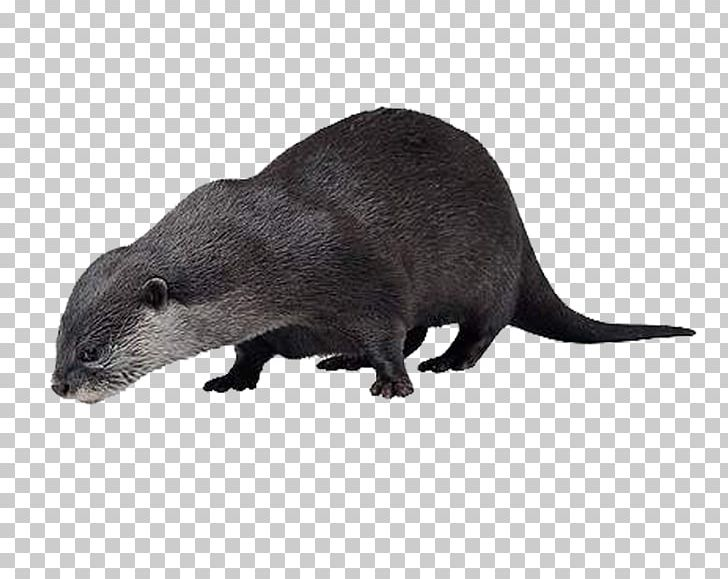 Sea Otter Animal Vole PNG, Clipart, Animal, Animals.