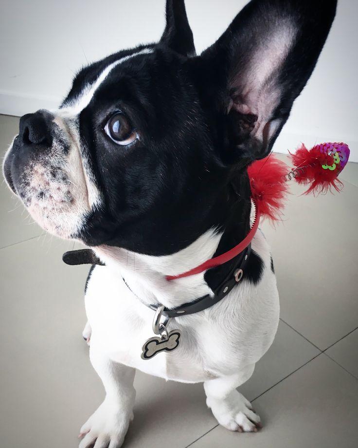17 best ideas about Bulldog Françes on Pinterest.