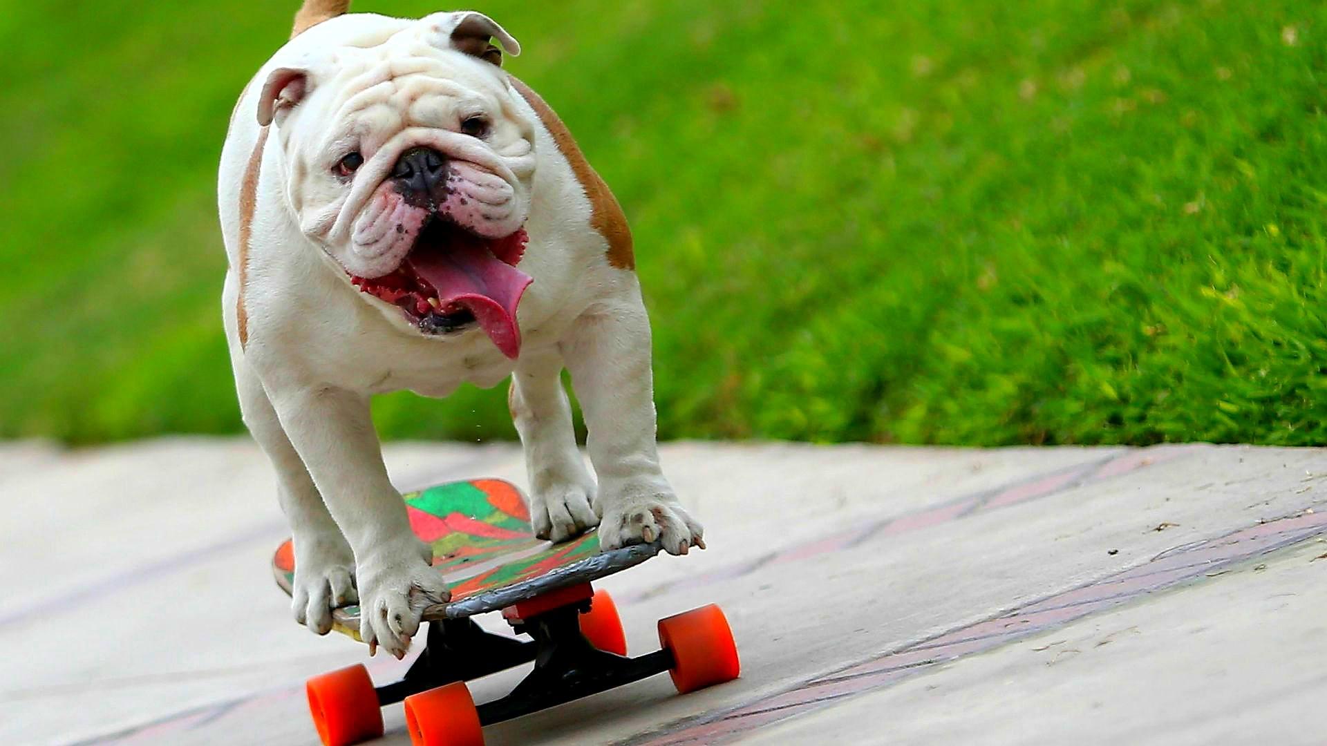 Peruvian dog.
