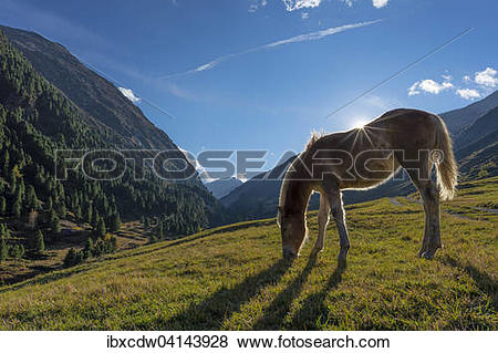 Pictures of Haflinger horse grazing, Vent, Otztal, Tyrol, Austria.