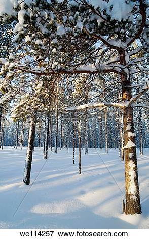Picture of Young pine, pinus sylvestris, trees. Location Oulu.