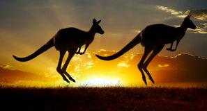 Kangaroo Stock Illustrations.