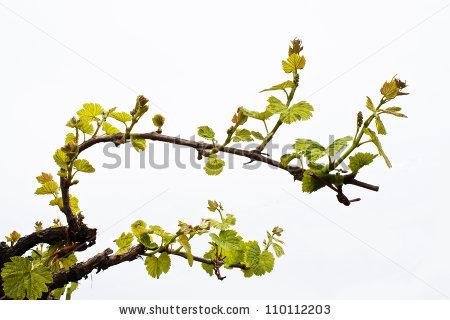 A Branch Of Grapes Stock Photos, Royalty.