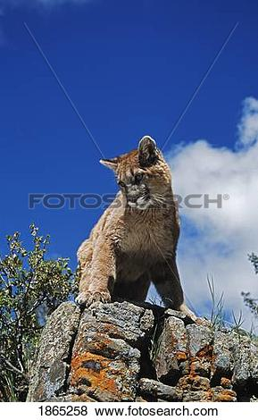 Pictures of Young mountain lion (Felis concolor) looks down from.