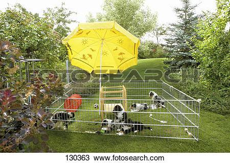 Stock Photo of Australian Shepherd puppies in outdoor enclosure.