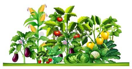 Vegetable Garden Stock Photos & Pictures. Royalty Free Vegetable.