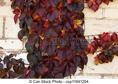 Stock Illustrations of Clinging autumn vine on an outer wall of a.