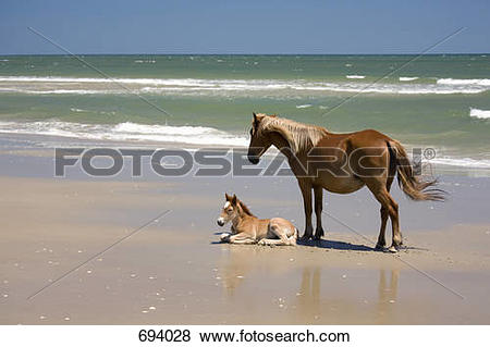 Pictures of A wild Banker Pony mare and her foal, Outer Banks.