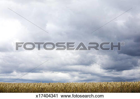 Stock Photography of beautiful sky over ripe corn field x17404341.