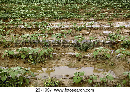 Cotton field Stock Photo Images. 2,799 cotton field royalty free.