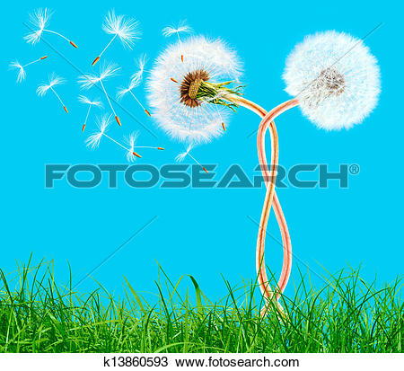 Stock Photo of Overblown braided dandelions in the grass on the.
