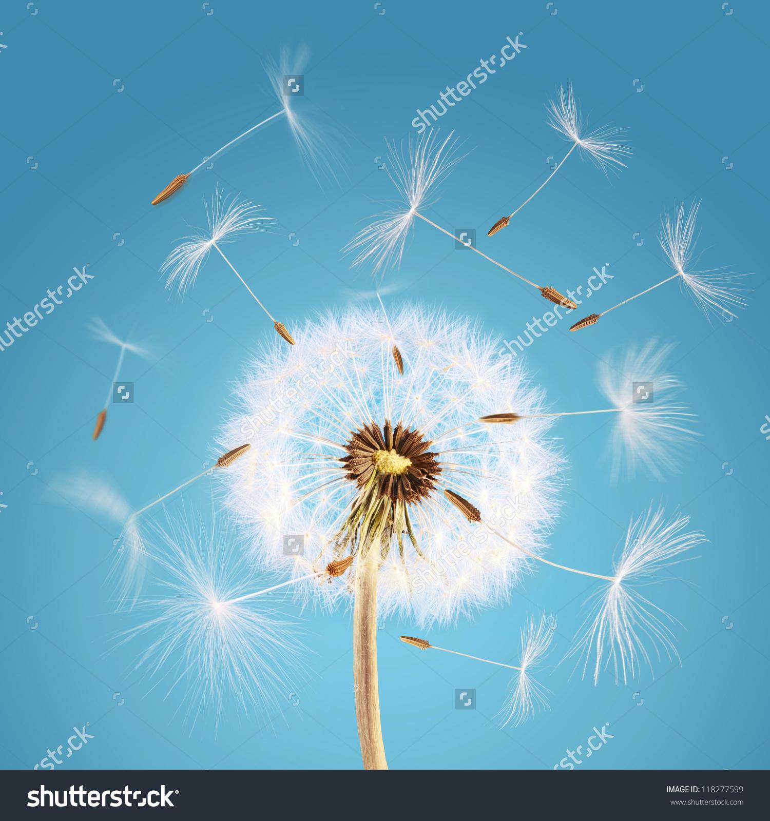 Overblown Dandelion Seeds Flying Away Wind Stock Photo 118277599.