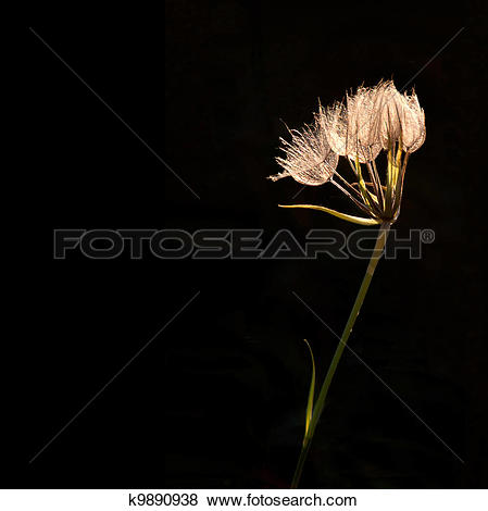 Pictures of Overblown flower k9890938.