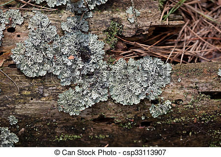 Stock Photography of Old tree log texture overgrown with a lichen.