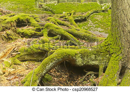 Stock Photo of Moss Tree Roots Forest.
