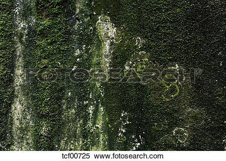 Stock Image of Concrete wall overgrown with moss (Bryophyta.