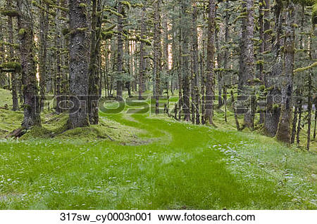 Stock Photography of Overgrown old road through spruce forest.