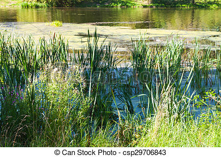 Stock Photo of pond overgrown with slime and duckweed.