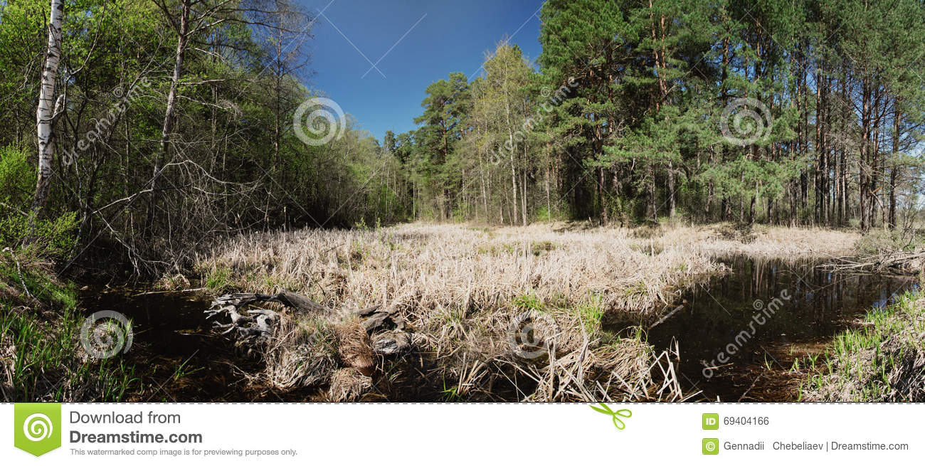 Overgrown Pond In A Pine Forest Stock Photo.
