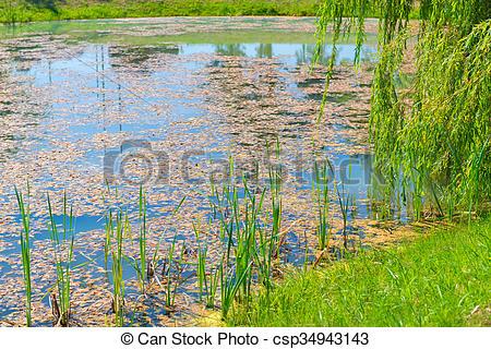 Stock Photo of overgrown with algae stagnant pond on a sunny day.