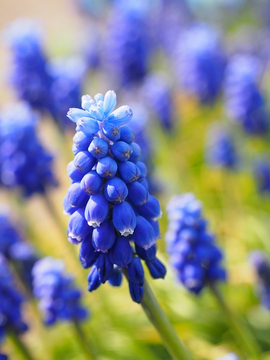 Free photo: Muscari, Flowers, Blue.