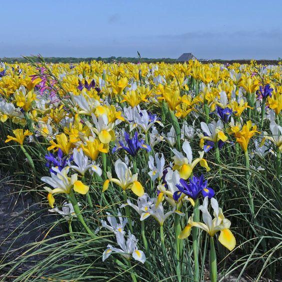 Ein Feld voller Iris im Blumenzwiebelanbaugebiet in Nord.