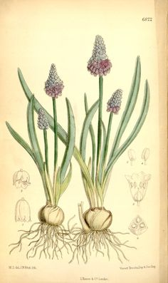 Grape Hyacinth, Illustration. (Muscari Racemosum). Nice font.