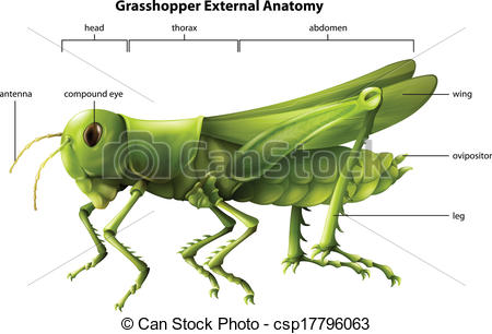 Clip Art Vector of External anatomy of a grasshopper.
