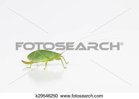 Stock Photography of Female katydid with ovipositor k29546250.